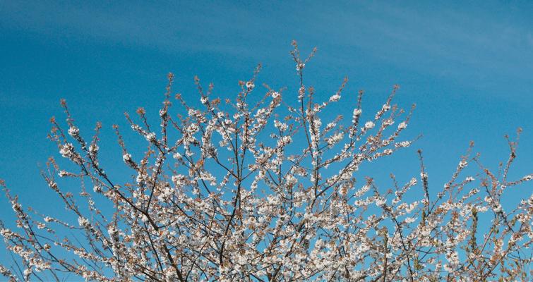 Cherry Blossom CPL